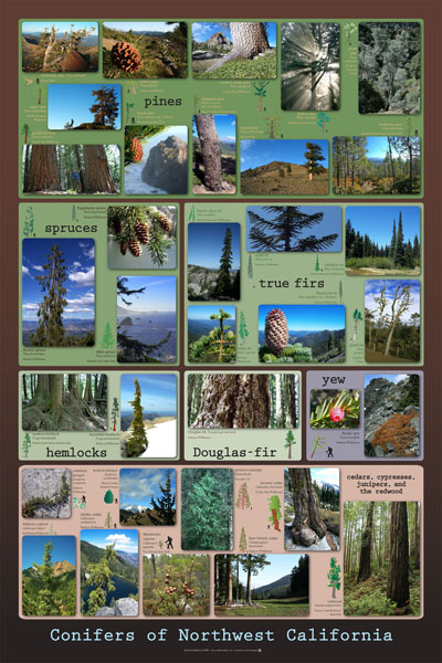 Conifers poster